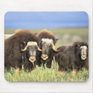 A group of muskoxen browse on willow shrubs on mouse pad