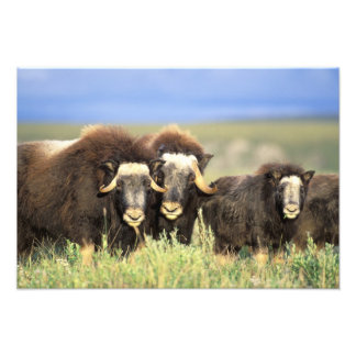 A group of muskoxen browse on willow shrubs on photo art