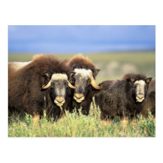 A group of muskoxen browse on willow shrubs on postcard