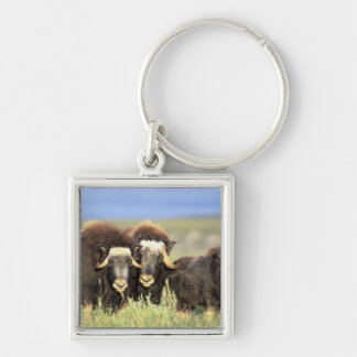 A group of muskoxen browse on willow shrubs on Silver-Colored square key ring