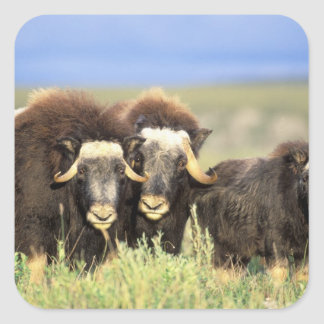A group of muskoxen browse on willow shrubs on square sticker