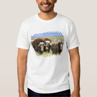 A group of muskoxen browse on willow shrubs on t-shirts