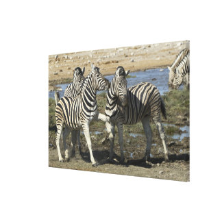 A group of Plains Zebra (Equus qagga) greet each Gallery Wrap Canvas