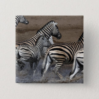 A group of Planes Zebra (Equus quagga) at a 15 Cm Square Badge