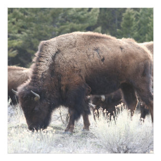 A Herd of Brown Bison Graze in a grassy Meadow Photo Print