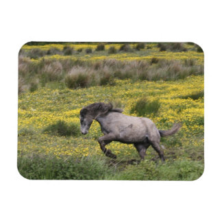 A horse running in a field of yellow wildflowers rectangular photo magnet