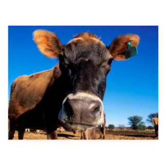 A Jersey cow being inquisitive Postcard