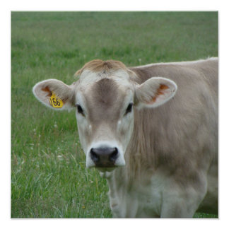 A Jersey Cow Poster