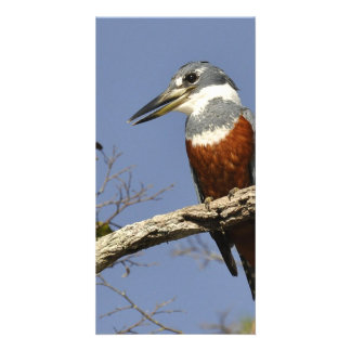 A Kingfisher Perches in a branch of a Tree Photo Card