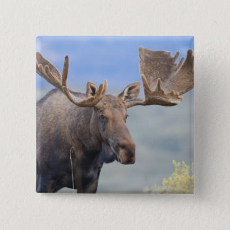 A large bull moose stands among willows 2 15 cm square badge