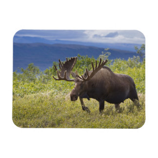 A large bull moose stands among willows rectangular photo magnet