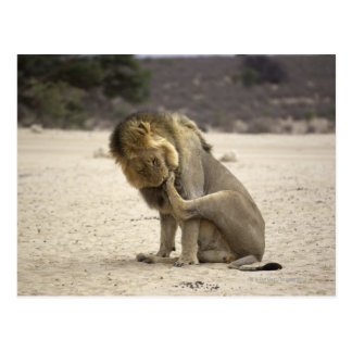 A Lion cleaning its back paw, Kgalagadi Postcard