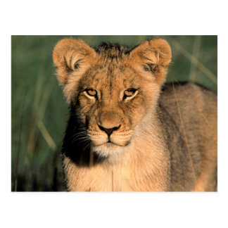 A Lion cub observes the camera from the long grass Postcard