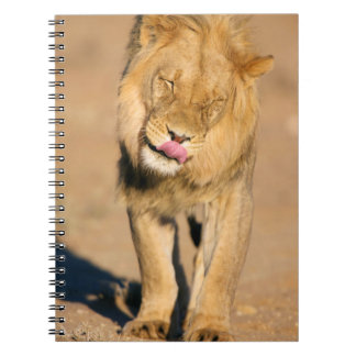 A Lion shaking its head and licking its mouth Notebook