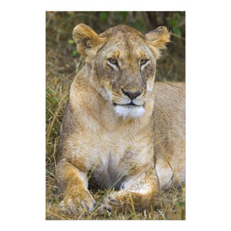 A lion sitting the high grass of the Maasai Photo