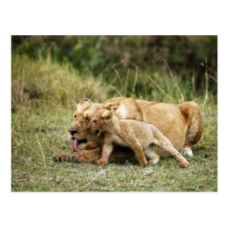A lioness and her playful cub post cards