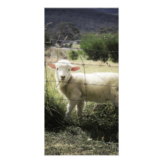 a little white lamb behind a fence in a field customised photo card