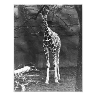 A lonely Giraffe Photo Print
