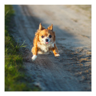 A long haired brown and white Chihuahua Running Photo
