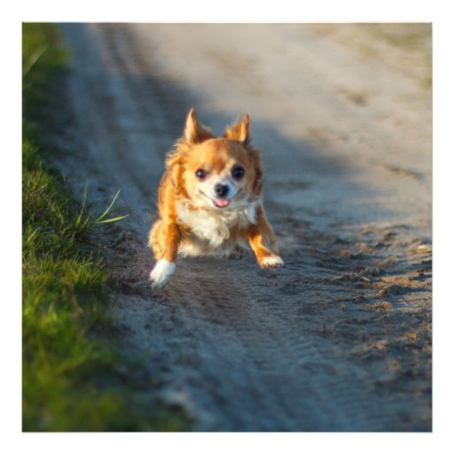 A long haired brown and white Chihuahua Running Art Photo