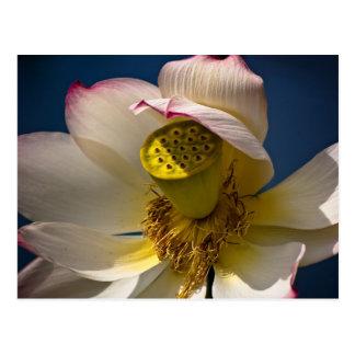 A Lotus Blossom Postcard