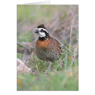 A Male Bobwhite Quail Greeting Card. Card