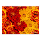 A Medley of Red Yellow and Orange Marigolds Postcard