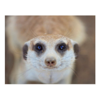 A Meerkat looking up at the camera Postcard
