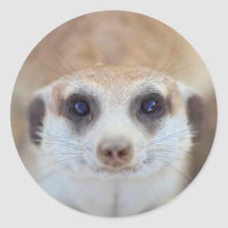 A Meerkat looking up at the camera Round Sticker