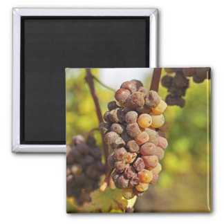 A moldy Semillon grape bunch at Ch Raymond Lafon Refrigerator Magnets
