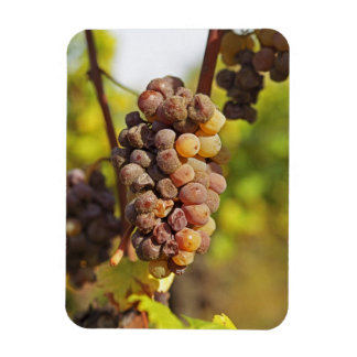 A moldy Semillon grape bunch at Ch Raymond Lafon Rectangular Photo Magnet