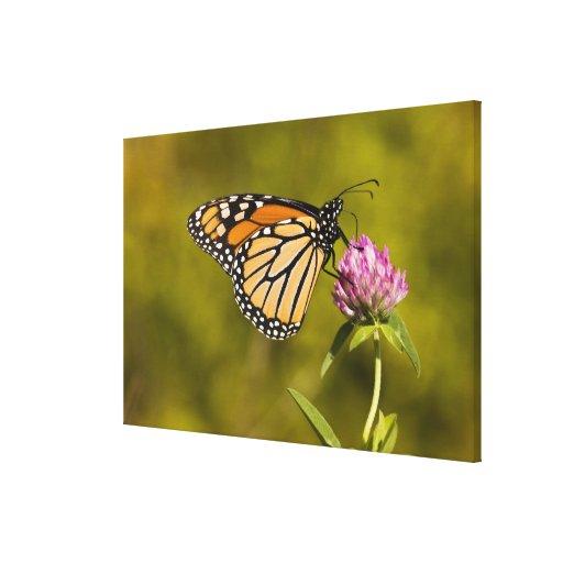 A monarch butterfly, Danaus plexippus, on clover Canvas Print