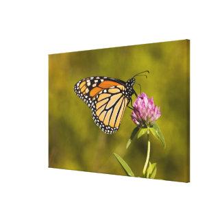 A monarch butterfly, Danaus plexippus, on clover Gallery Wrap Canvas