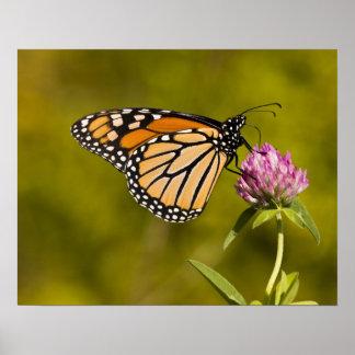 A monarch butterfly, Danaus plexippus, on clover Poster