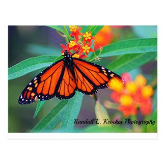 A Monarch Butterfly! Postcard