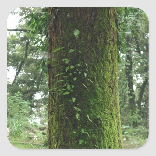 A moss covered beautiful tree square stickers
