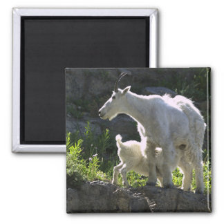 A mountain goat nanny nurses her kid in square magnet