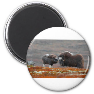 A Musk Ox and Calf Magnet