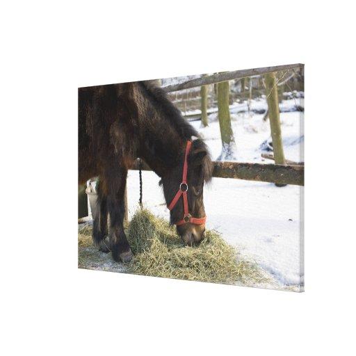 A native horse originally from Gotland where Stretched Canvas Prints