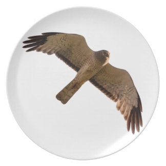 A Northern Harrier soars overhead Plate