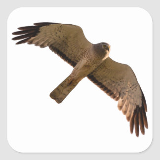 A Northern Harrier soars overhead Square Sticker