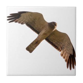 A Northern Harrier soars overhead Tile