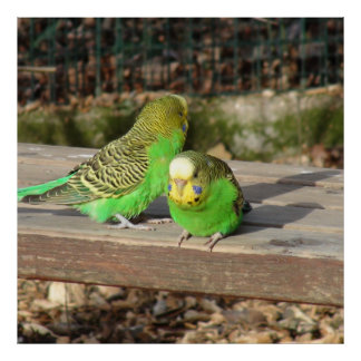 A Pair of Green Budgies on a wooden bench Poster