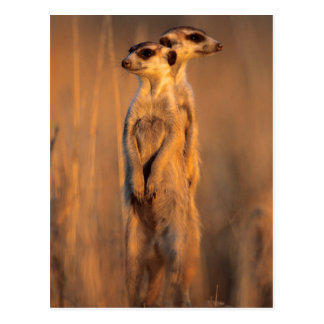 A pair of Suricates standing on a rock at sunset Postcard