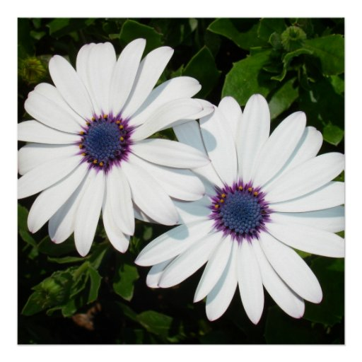 A Pair of White African Daisies Posters