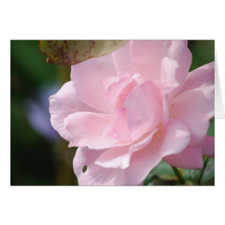 A Pale Pink Rose Card