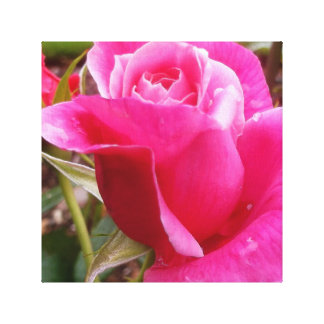 A Perfect Deep Pink English Rose Stretched Canvas Prints