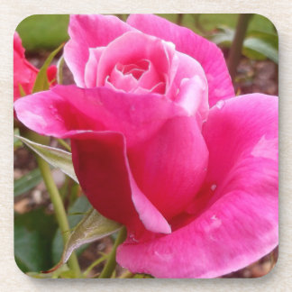 A Perfect Deep Pink English Rose Drink Coaster