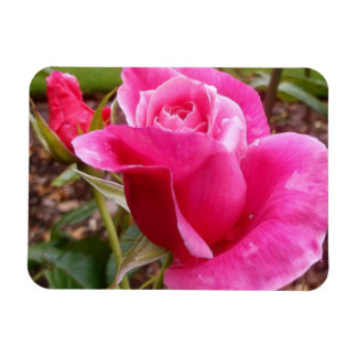 A Perfect Deep Pink English Rose Rectangle Magnet