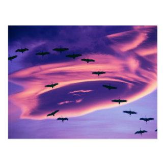 A photo composite of Sandhill cranes in flight Postcard